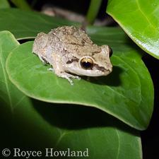 Barbados Whistling Frog (Eleutherodactylus johnstonei)