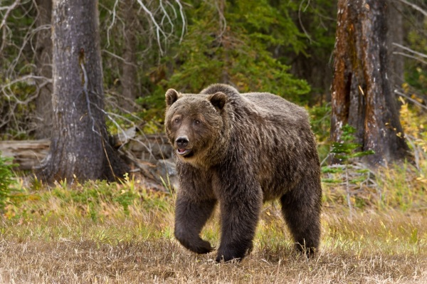Grizzly Bear Copyright © 2011 Barry Ryziuk