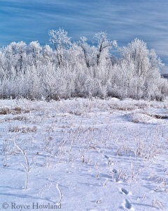 Morning light on snow and thick frost along the river, Peace River