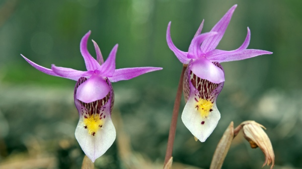 Calypso Orchids Copyright © 2012 Alan Ernst