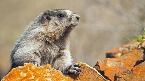 Hoary Marmot Copyright © 2012 Alan Ernst