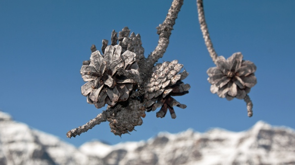 Scorched Pine Cones Copyright © 2012 Alan Ernst