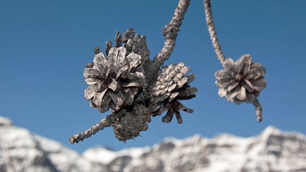 Scorched Pine Cones Copyright © 2012 Alan Ernst
