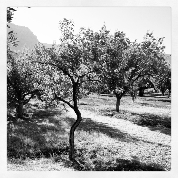 Orchard at Lonely Dell Ranch Copyright © 2012 Royce Howland