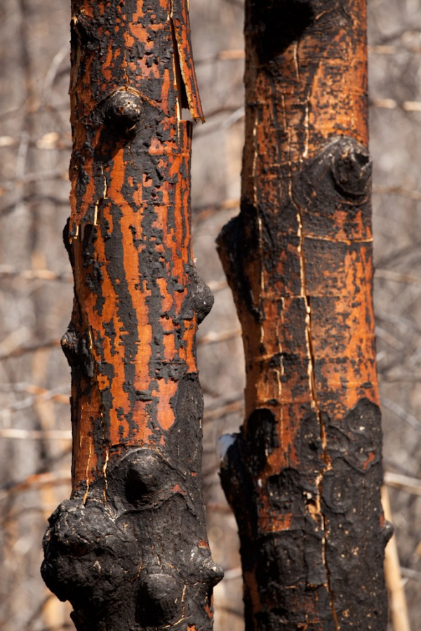 Burned Tree Trunks Copyright © 2012 Mo Mullet