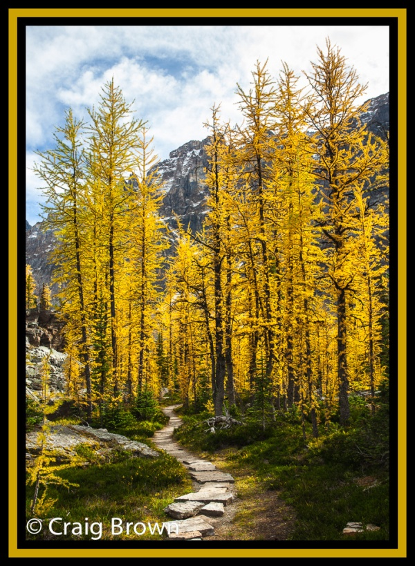 Pathway Through The Larches, Lake O'Hara area. Copyright © 2012 Craig Brown.
