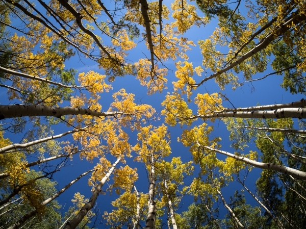 Aspen On Kooteny Plains, Copyright © 2012 Garrett Atkins
