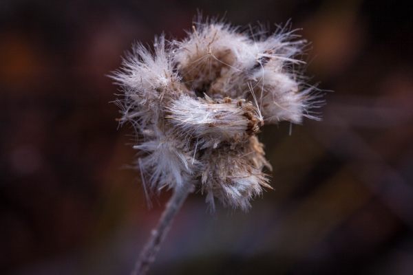 Closeup of Seed Head, Copyright © 2012 David J Wright