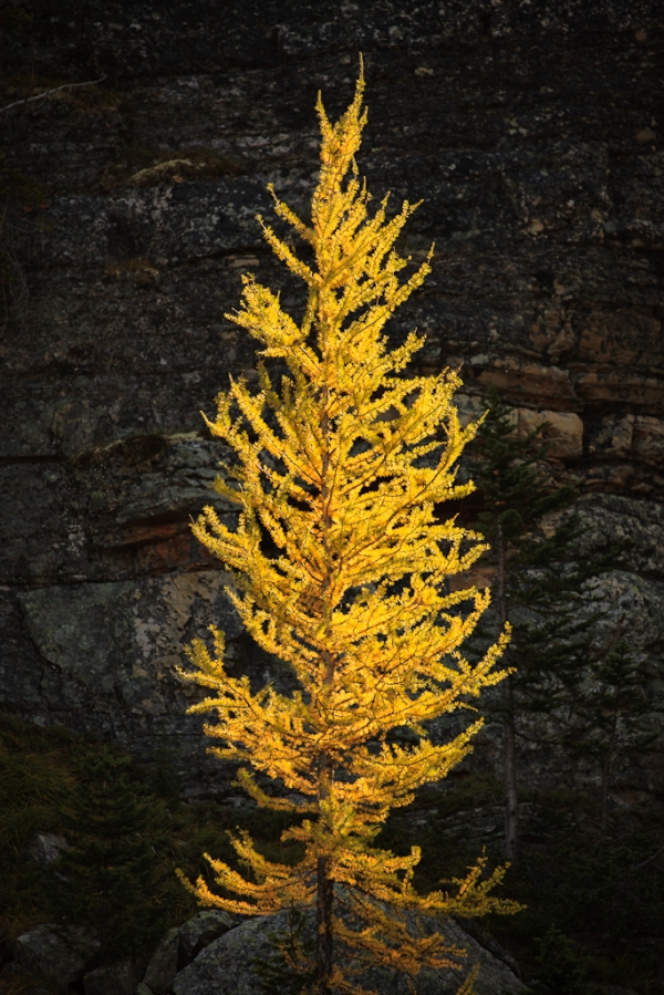 Larch on Opabin Plateau, Copyright © 2012 Garrett Atkins