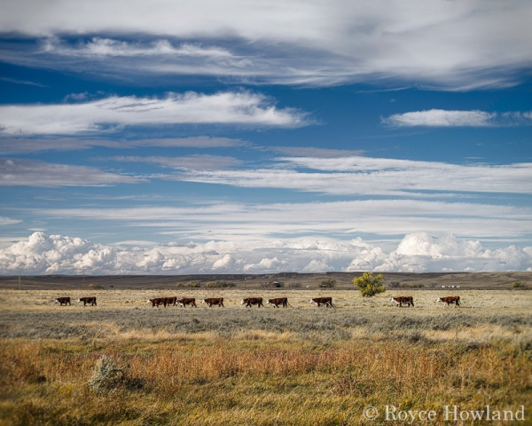 Til the Cows Come Home, SE Alberta, by Royce Howland.