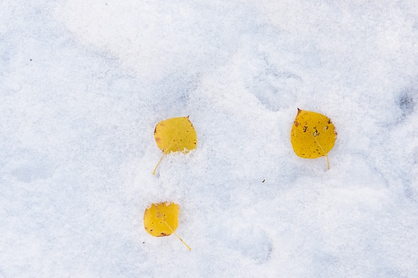 Aspen Leaves in Snow. Copyright © Kerry Leibowitz.